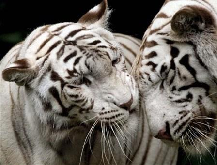 İkiz yaratılmış hayvanlar 19