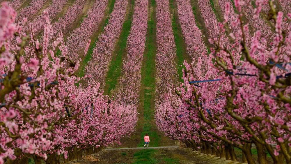 Çiçek açan şeftali ağaçları da baharın müjdecisi 1