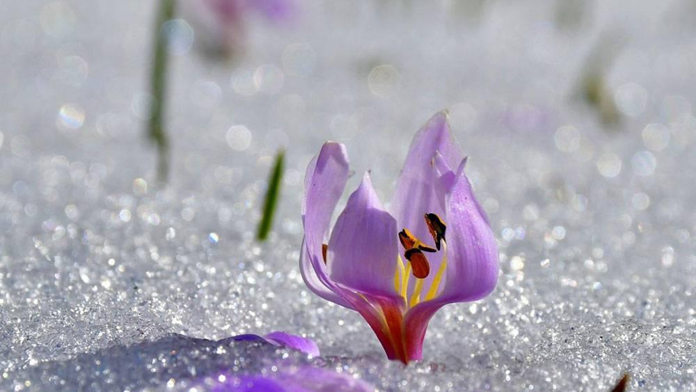 Hoş geldiniz, 'Bismillah' deyip karları delen çiçekler 1