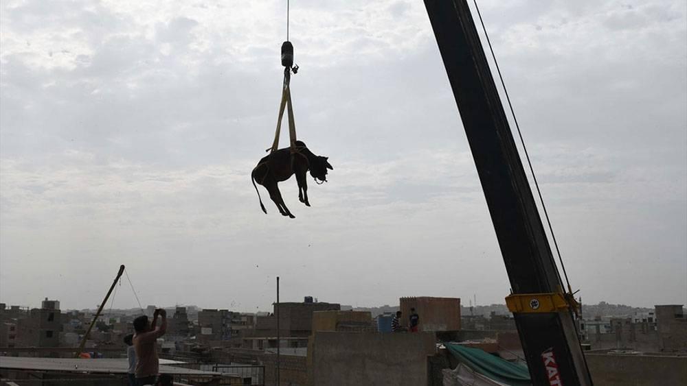 Pakistan, Kurban Bayramına böyle hazırlanıyor 1