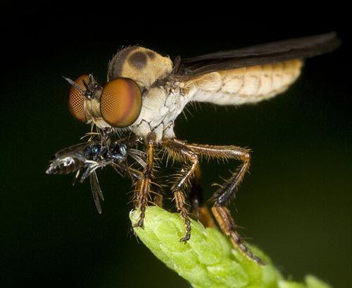 Dünyanın en güzel sineği 7