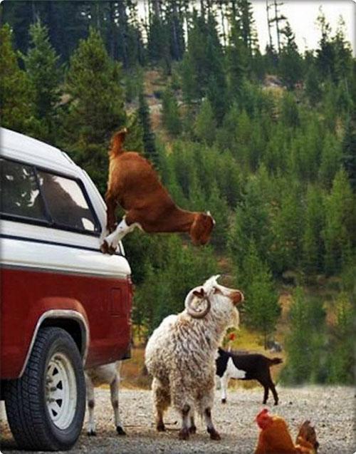 İşte gerçek dağcılar, keçiler 1