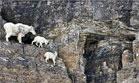 İşte gerçek dağcılar, keçiler