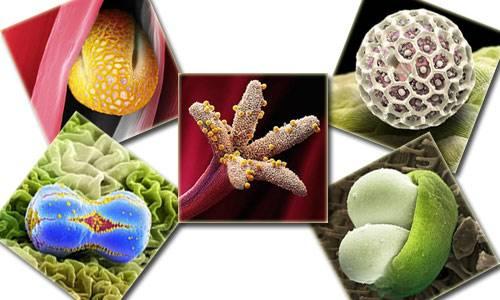 Nezle yapan polen hücreleri 1