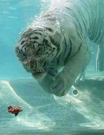 Su altında beslenen kaplanlar 1