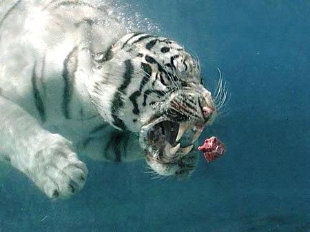 Su altında beslenen kaplanlar 12