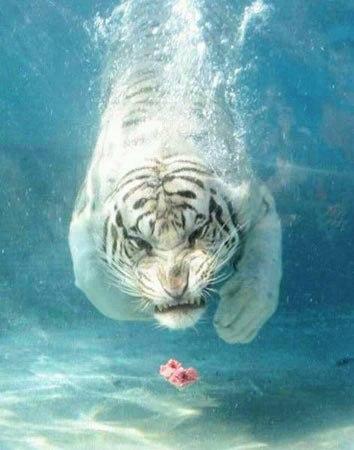 Su altında beslenen kaplanlar 15