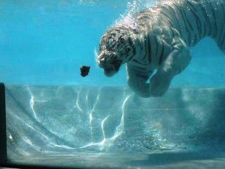 Su altında beslenen kaplanlar 2