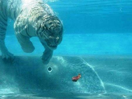 Su altında beslenen kaplanlar 3