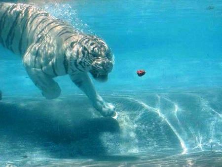 Su altında beslenen kaplanlar 4