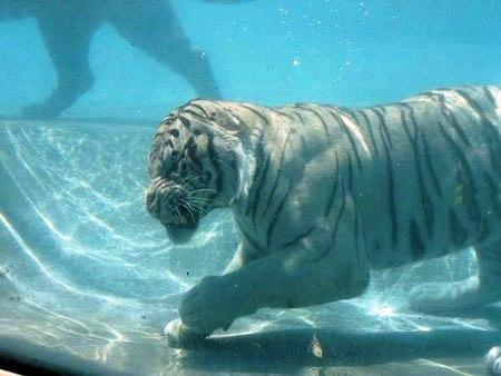 Su altında beslenen kaplanlar 5