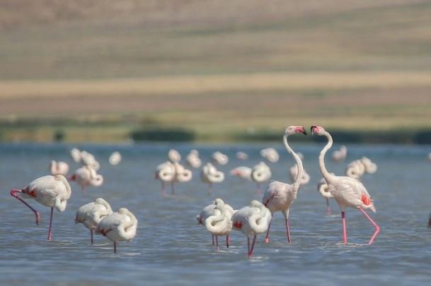 Erçek Gölü'nde flamingoların görsel şöleni 1