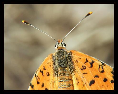 Sanatlı Kelebekler 12