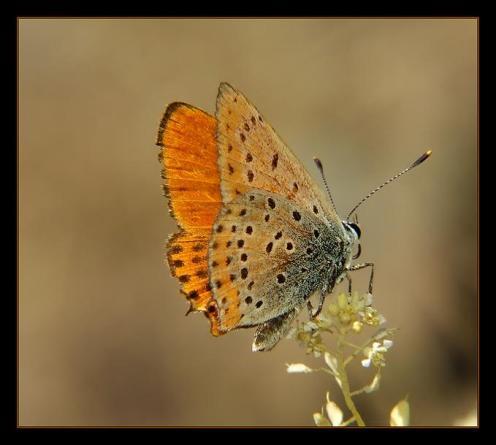 Sanatlı Kelebekler 3