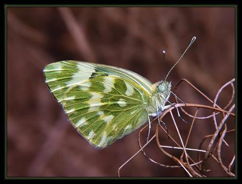 Sanatlı Kelebekler 4