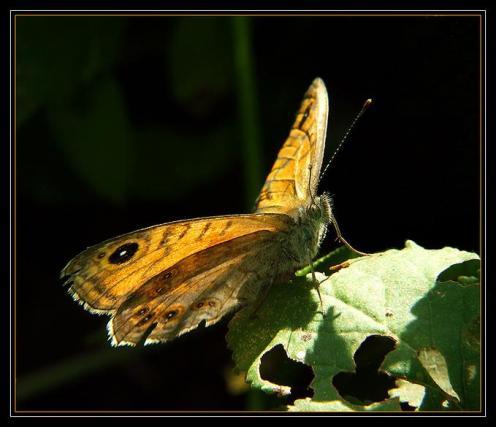 Sanatlı Kelebekler 8