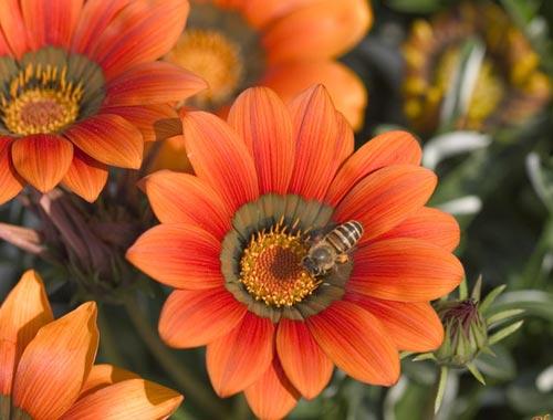 Arılar-Çiçekler 10