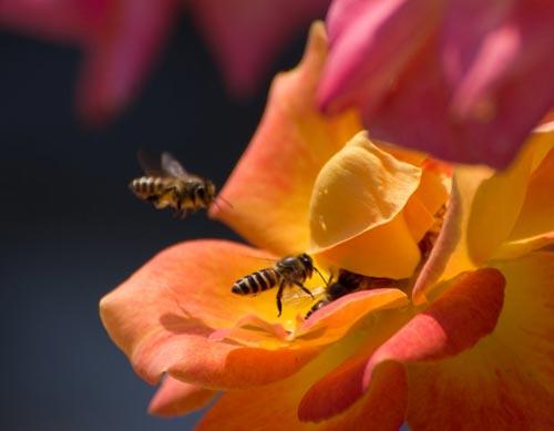 Arılar-Çiçekler 7