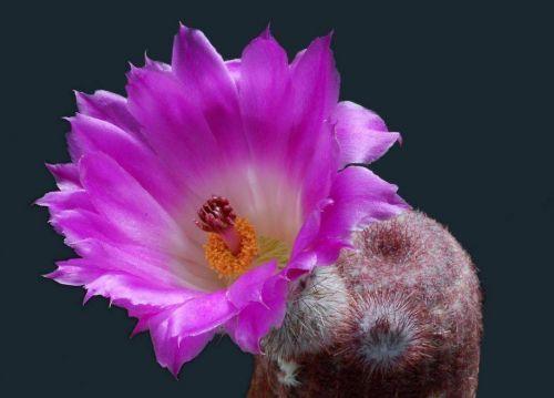 Çiçek açan kaktüsler 1