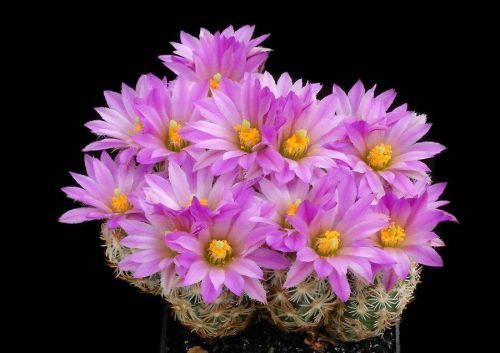 Çiçek açan kaktüsler 11