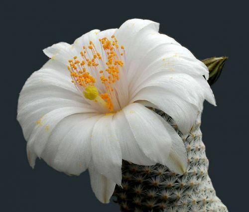 Çiçek açan kaktüsler 13