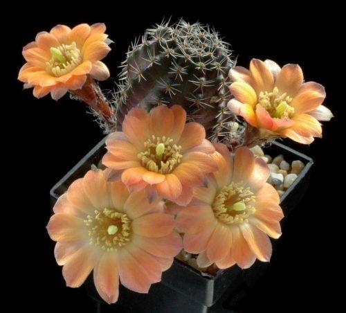 Çiçek açan kaktüsler 14