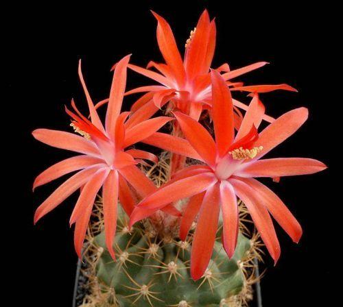 Çiçek açan kaktüsler 15