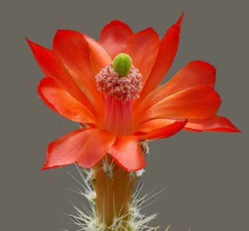 Çiçek açan kaktüsler 19