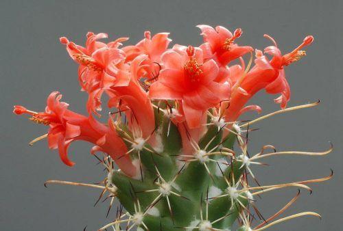 Çiçek açan kaktüsler 2