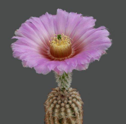 Çiçek açan kaktüsler 20