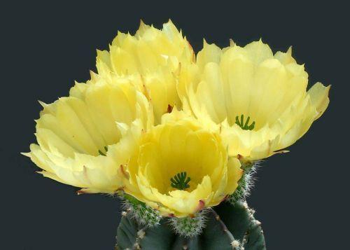 Çiçek açan kaktüsler 21