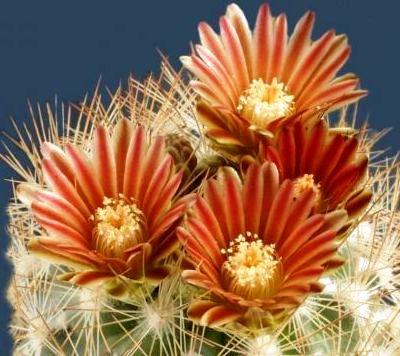 Çiçek açan kaktüsler 22