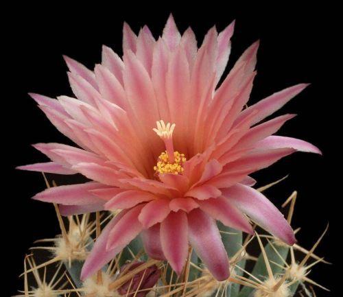 Çiçek açan kaktüsler 23