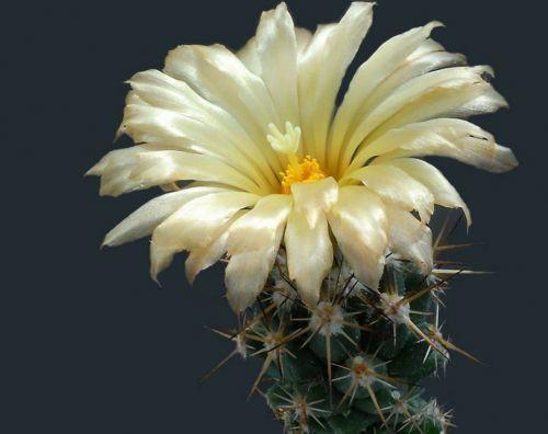 Çiçek açan kaktüsler 3