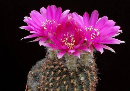 Çiçek açan kaktüsler 4