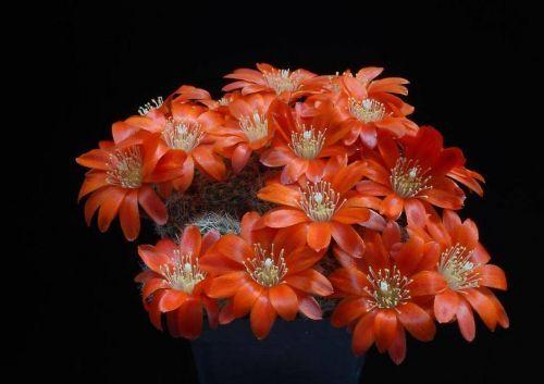 Çiçek açan kaktüsler 6