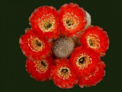 Çiçek açan kaktüsler 7