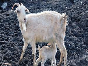 TZOB Başkanı Bayraktar: Türkiye keçi sayısı artışında birinci
