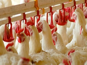 Tavuk eti tüketimi son 10 yılda 2 kat arttı