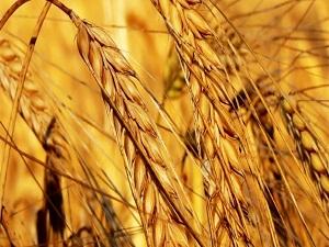 Buğday fiyatı 1 lirayı geçti