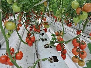 Arjantin'de ithal domates tartışması