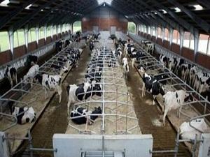 Süt üretimi 610 bin tonu aştı