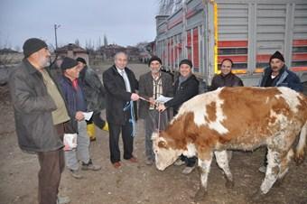 50 aile 300 baş sığır sevinci yaşadı