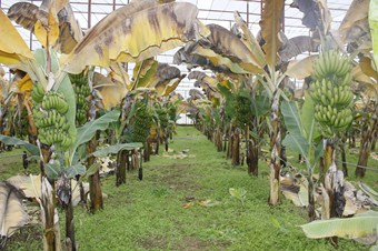 Hassa'da 'muz hasat şenliği' düzenlendi