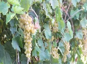 Manisa çekirdeksiz üzümde Türkiye üretiminin yüzde 91,6'sını karşıladı