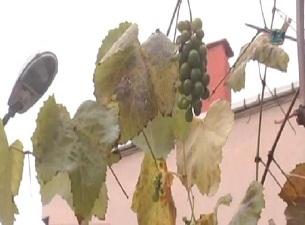 Kış ortasında salkım salkım üzüm verdi
