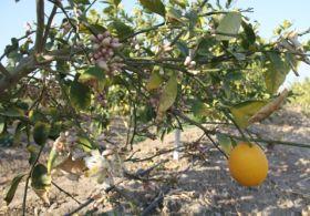 Limonlar Kış Ortasında Çiçek Açtı