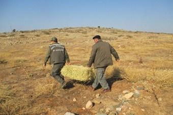 Hatay'da dağ ceylanlarının yaşam alanlarına yonca bırakıldı