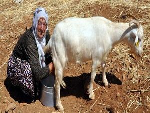 Keçi sütü mercek altına alınıyor