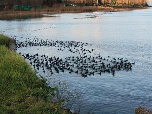 Sapanca Gölü'nü bu kuş kurtaracak